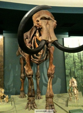 Mammoth at Smithsonian