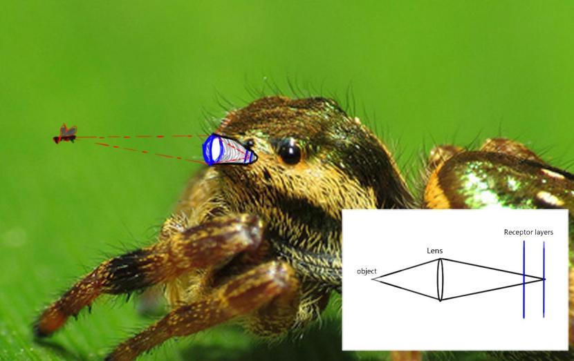 Jumping spider eye2