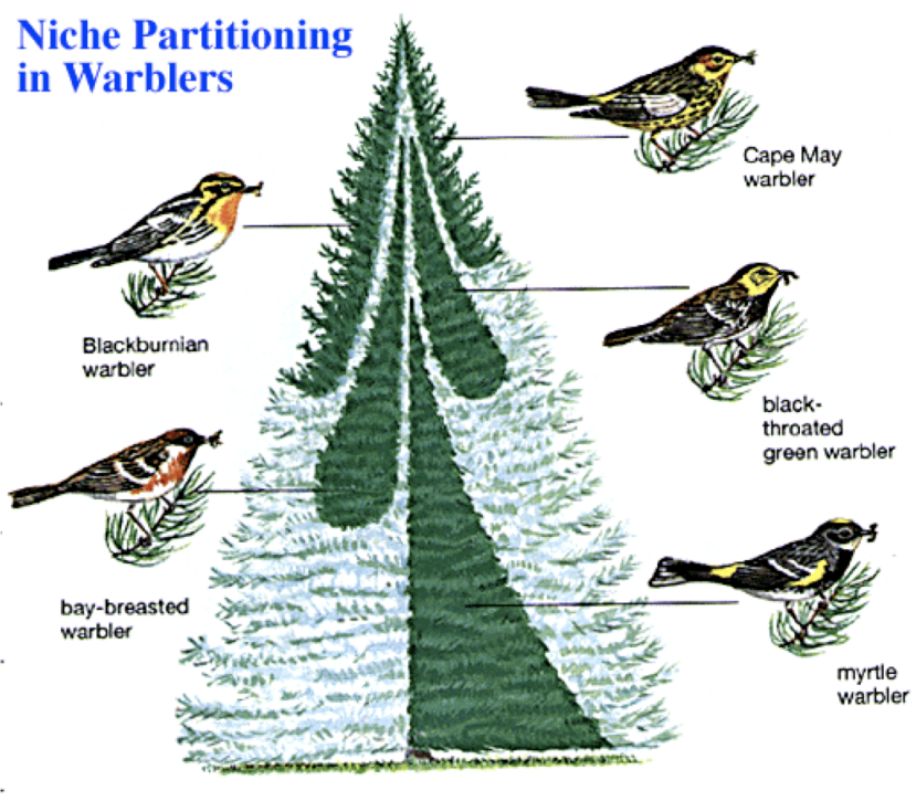 niche partitioning warblers