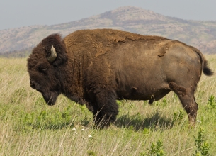 By katsrcool from Edmond, OK, USA - Majestic Bison, CC BY 2.0, https://commons.wikimedia.org/w/index.php?curid=20377764
