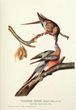 Author:William Butts Mershon, The_Passenger_Pigeon_-_Mershon.djvu: derivative work: Billinghurst [Public domain], via Wikimedia Commons