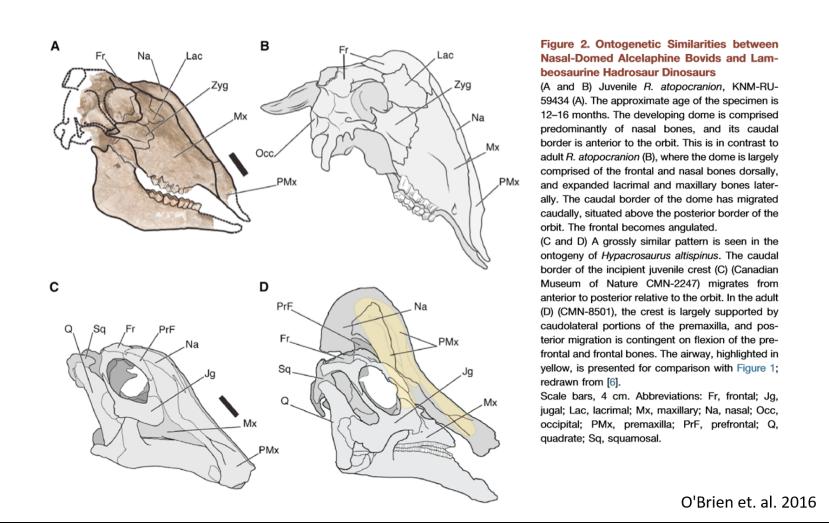 Rusingoryxhadrosaurclipping